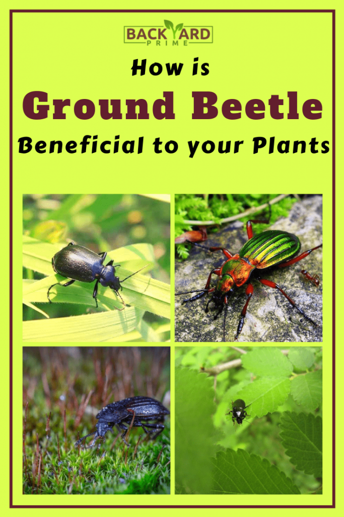 How is Ground Beetle Beneficial to your Plants? 5
