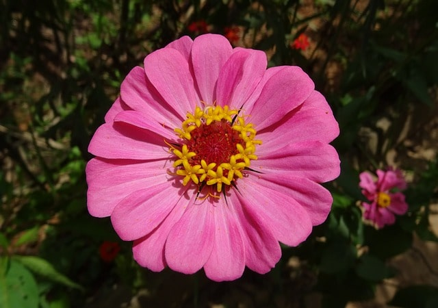 Your Complete Guide to Growing Annual Flowering Plants in Your Backyard 5