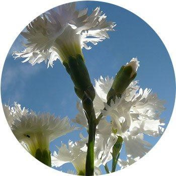 20 Most Breathtaking White Flowers in The World 17