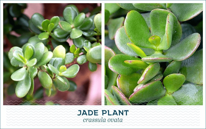 21 Types of Succulents for a Breathtaking Succulent Garden 3