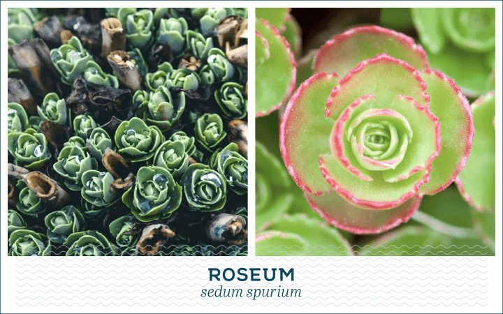 21 Types of Succulents for a Breathtaking Succulent Garden 9