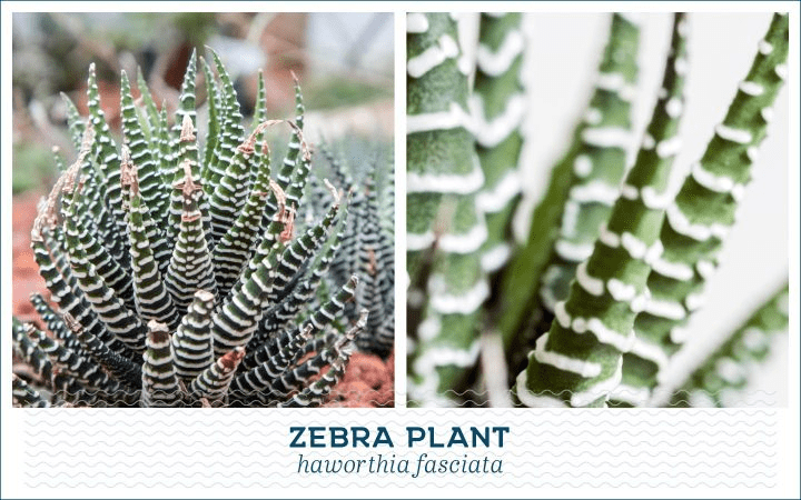 21 Types of Succulents for a Breathtaking Succulent Garden 10