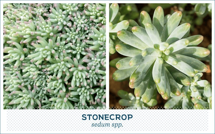 21 Types of Succulents for a Breathtaking Succulent Garden 12