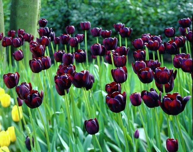 Top 20 Unique Stunning Black Flowers for your Backyard 1