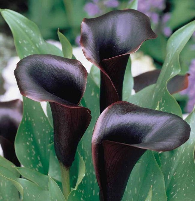Top 20 Unique Stunning Black Flowers for your Backyard 10