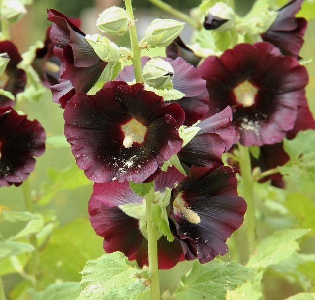 Top 20 Unique Stunning Black Flowers for your Backyard 15