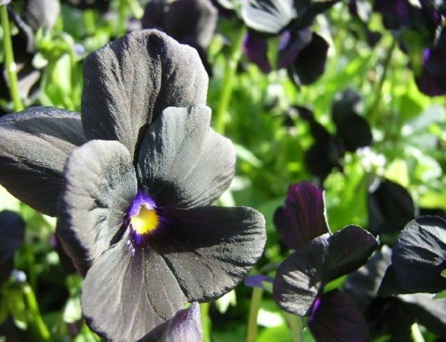 Top 20 Unique Stunning Black Flowers for your Backyard 16