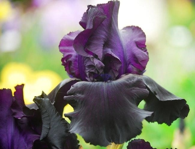 Top 20 Unique Stunning Black Flowers for your Backyard 19