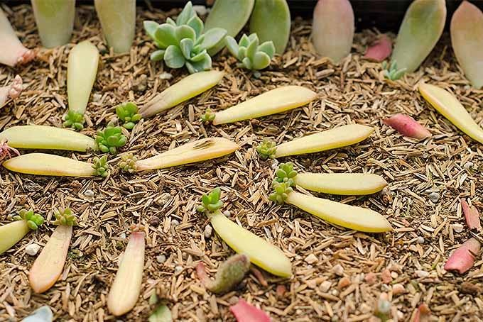 How to Propagate Succulents in Three Easy Steps 5