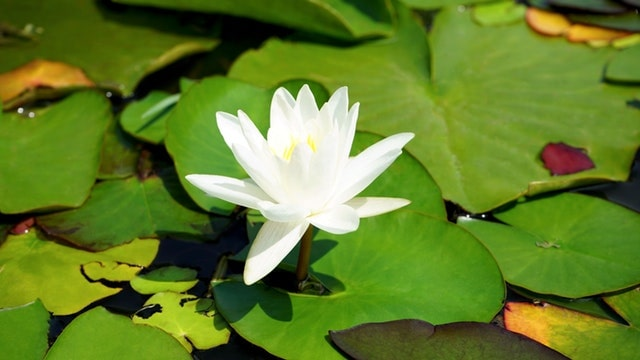 Easy Tips to Growing Water Plants for Your Pond