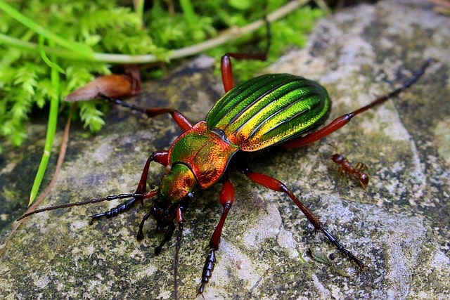 How is Ground Beetle Beneficial to your Plants? 4