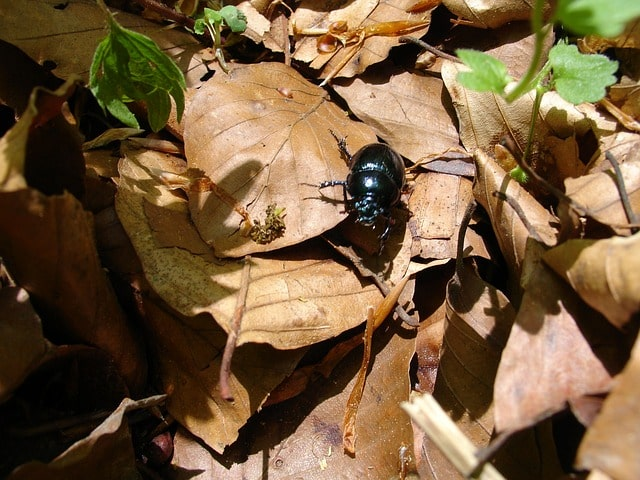 How is Ground Beetle Beneficial to your Plants? 1