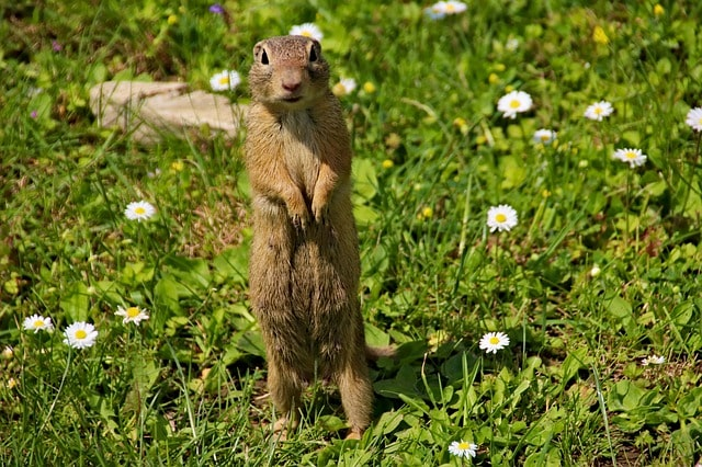11 Tips to Keep Gophers Away from Your Garden 1