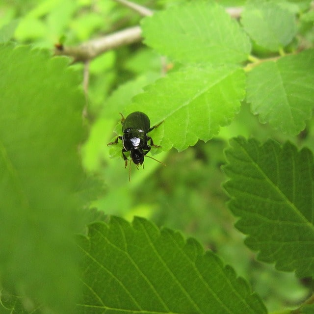 How is Ground Beetle Beneficial to your Plants? 3