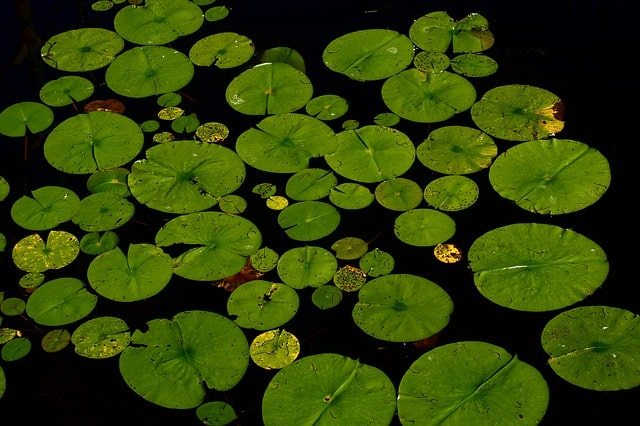 Easy Tips to Growing Water Plants for Your Pond 5
