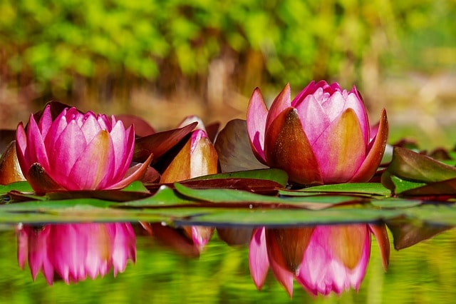 Easy Tips to Growing Water Plants for Your Pond 1