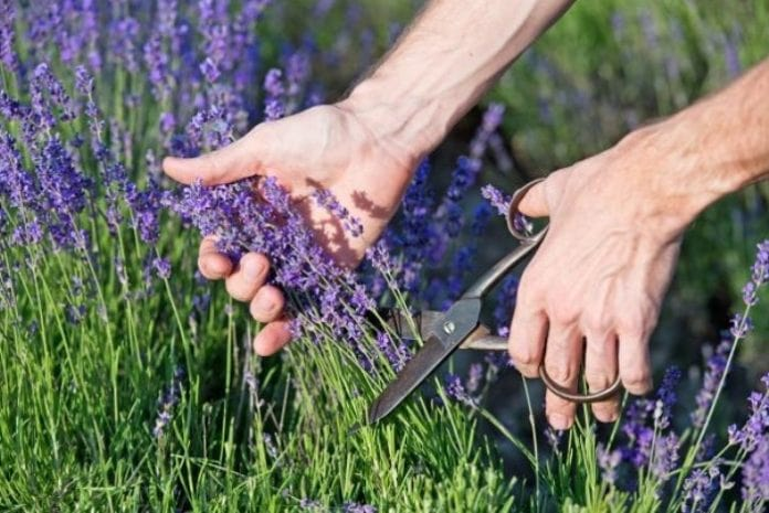 When & How to Prune Lavender? 4