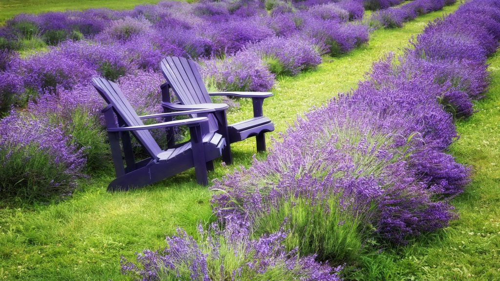 When & How to Prune Lavender? 7
