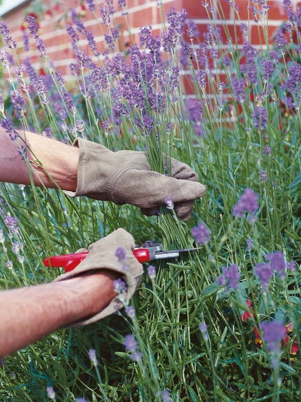 When & How to Prune Lavender? 6