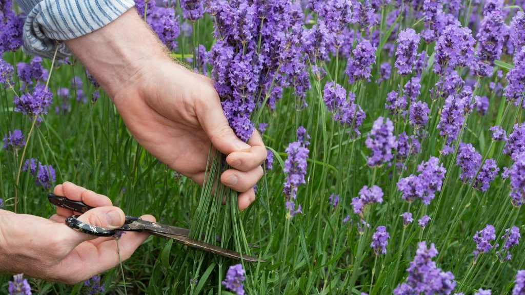 When & How to Prune Lavender? 3
