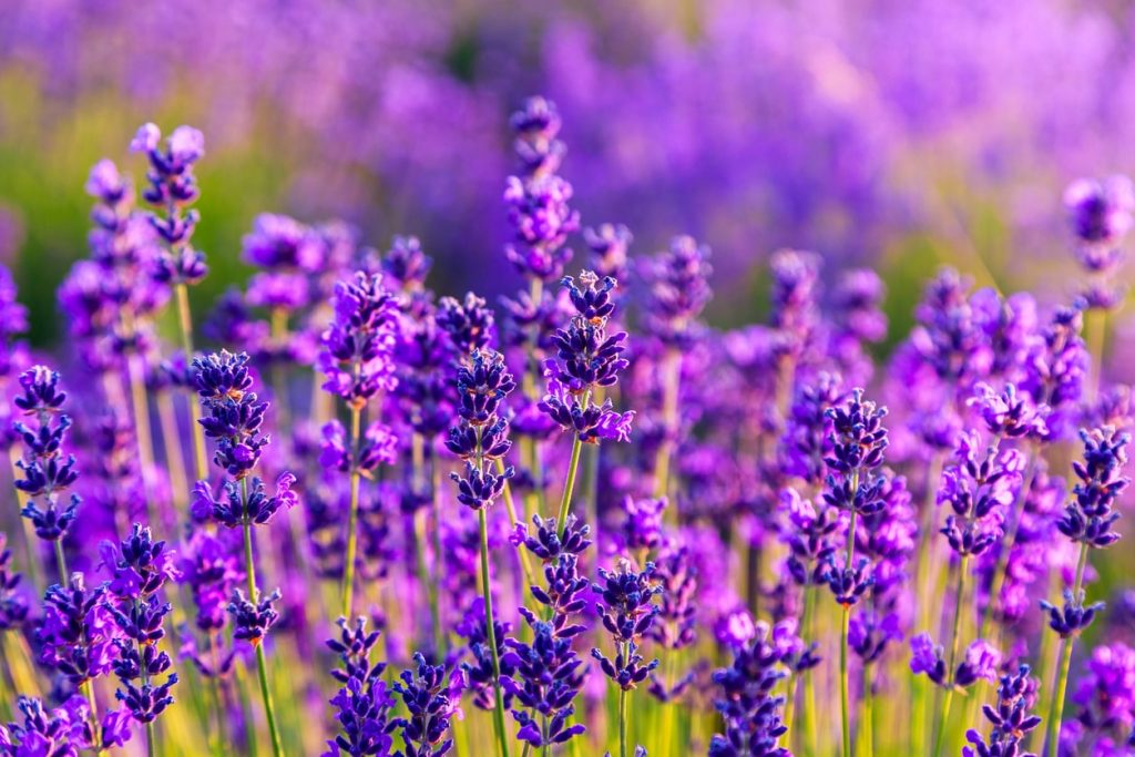 When & How to Prune Lavender? 1
