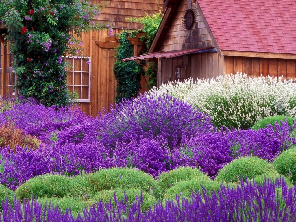When & How to Prune Lavender? 2