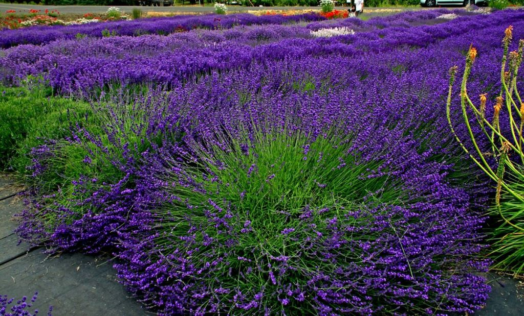 When & How to Prune Lavender? 5