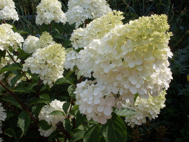 How to Grow & Care for Hydrangea Trees 3
