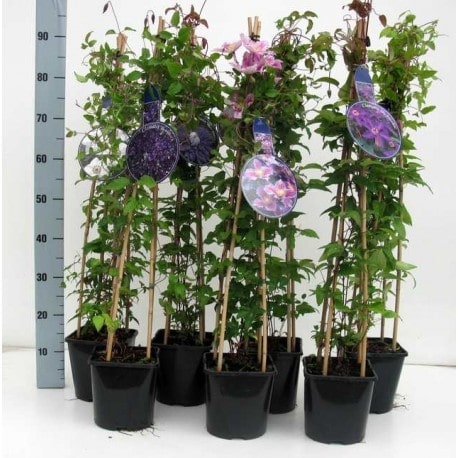 how to grow clematis in pots