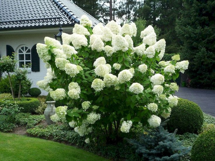 How to Grow & Care for Hydrangea Trees 5