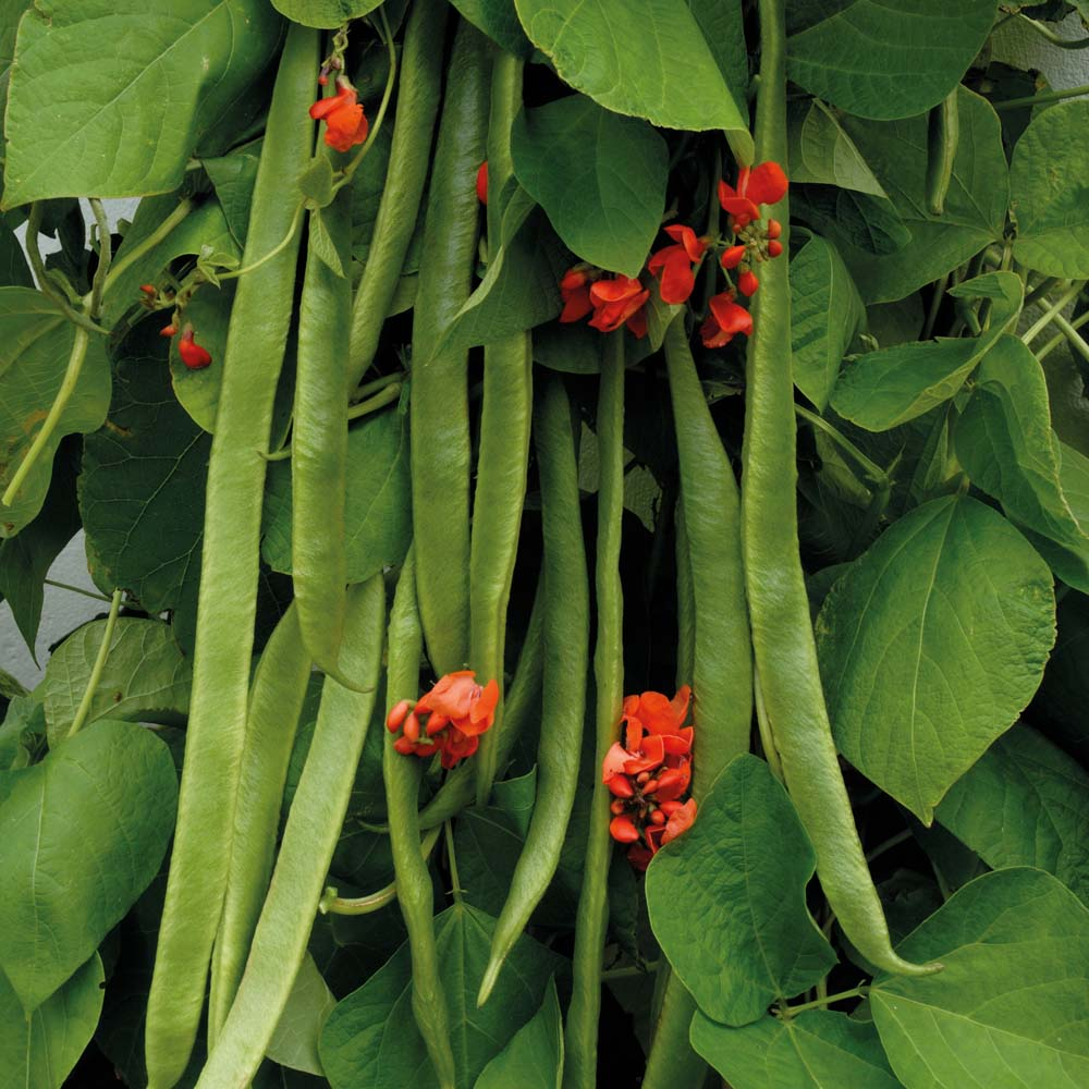 A Simple Guide To Growing Runner Beans in Pots 1