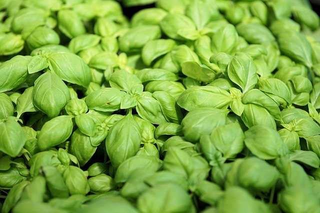 How to Grow Basil from Seed or Transplants 9