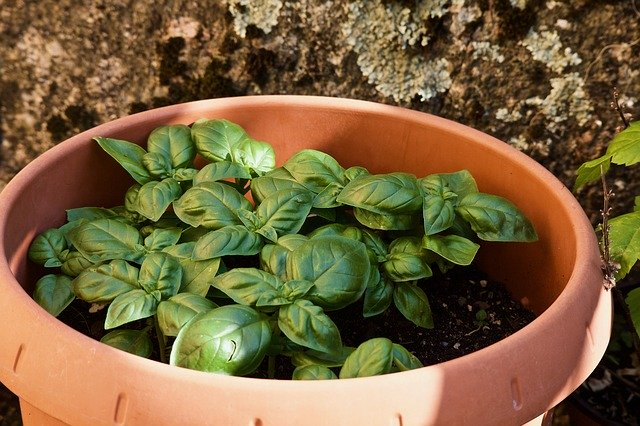How to Grow Basil from Seed or Transplants 13