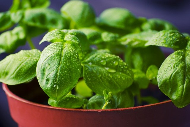 How to Grow Basil from Seed or Transplants 14