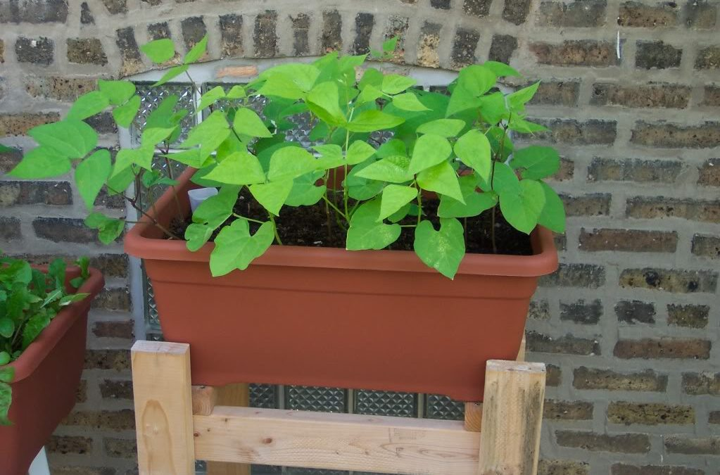 A Simple Guide To Growing Runner Beans in Pots