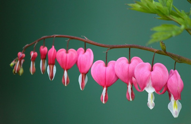 How to Grow & Care for Bleeding Heart Bush