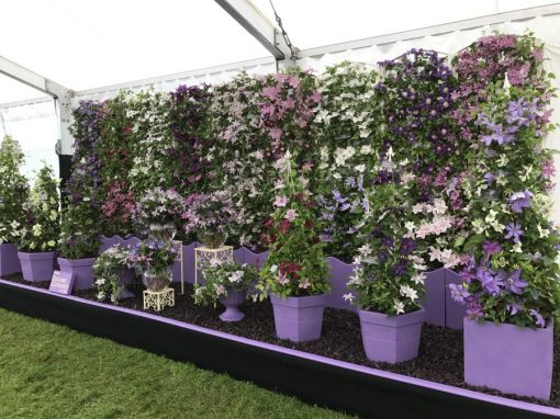 The In-Depth Guide To Growing Clematis in Pots