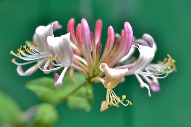 The Ultimate Guide to Growing Honeysuckle 7