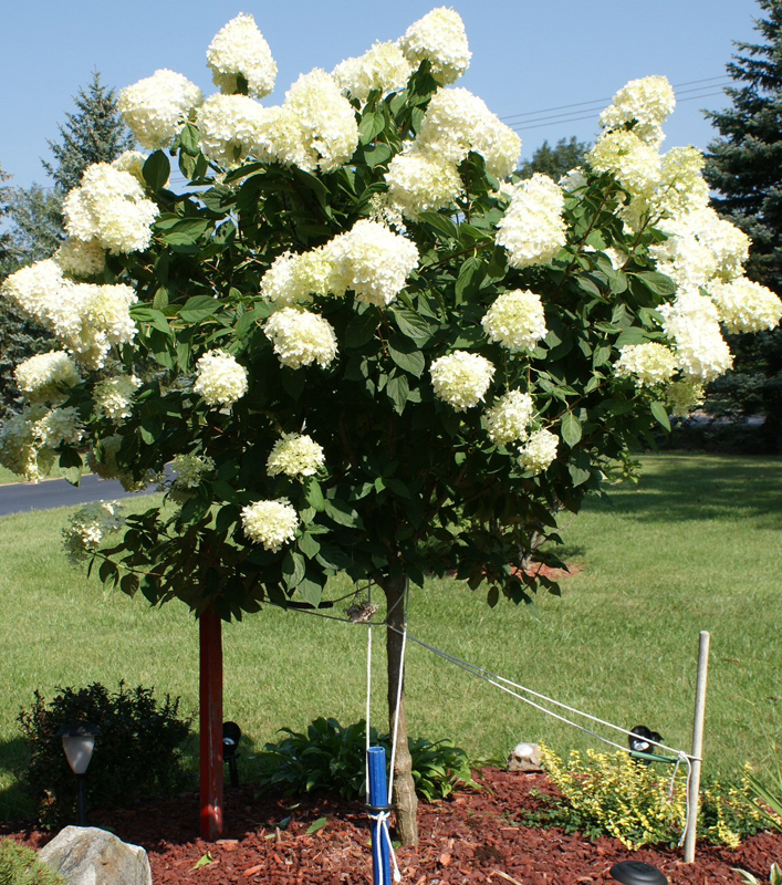 How to Grow & Care for Hydrangea Trees 4