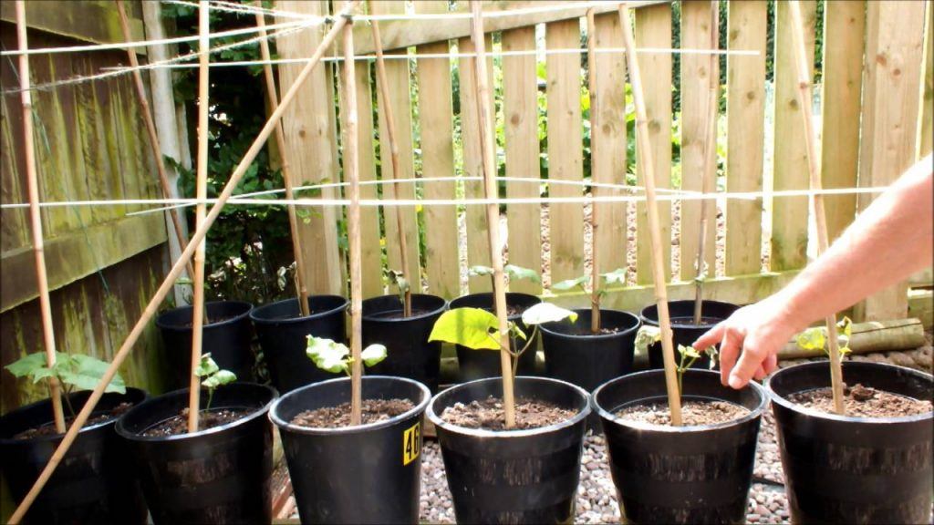 A Simple Guide To Growing Runner Beans in Pots 2