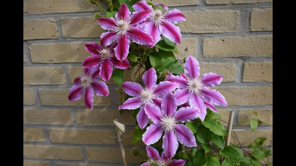 Nelly Moser clematis in pot