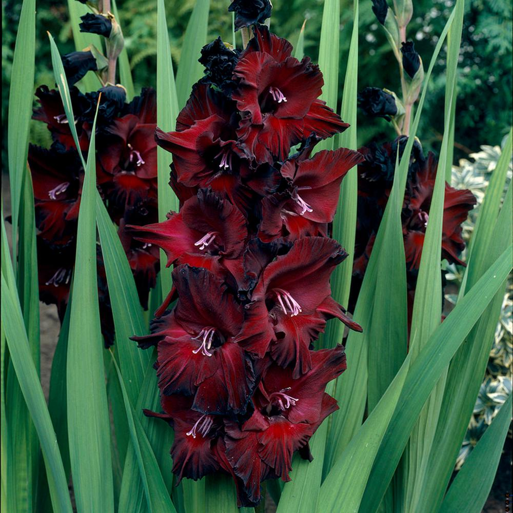 The Simplified Guide to Growing Gladiolus Bulbs 1