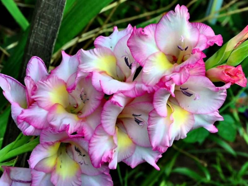 The Simplified Guide to Growing Gladiolus Bulbs