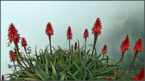 Aloe Vera the best of all flowering succulents
