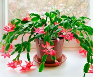 Christmas Cactus queen of all flowering succulents