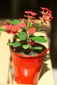 Euphorbia milii red flowering succulents
