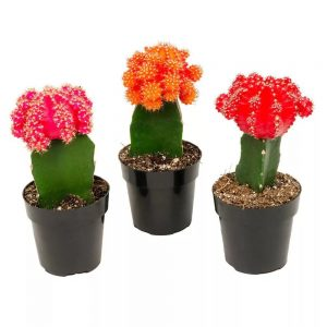 pink orange red flowering succulents