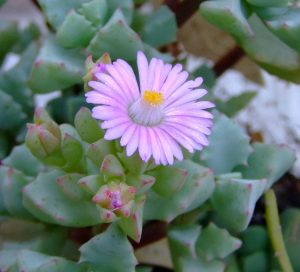 20 Pretty Flowering Succulents to Grow Indoors & Outdoors 5