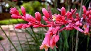Red Yucca flowering succulents