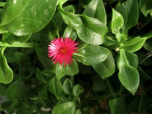 Rock Purslane succulent